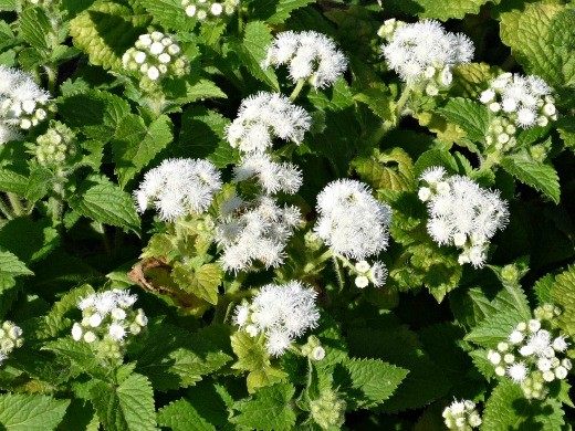 агератум, выращивание цветов и уход на дачной клумбе