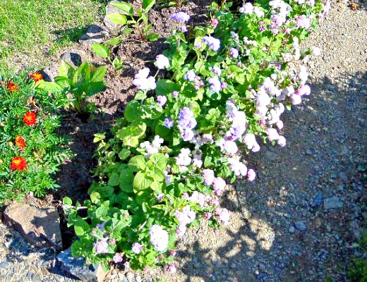 агератум, выращивание и уход - осенью на клумбе