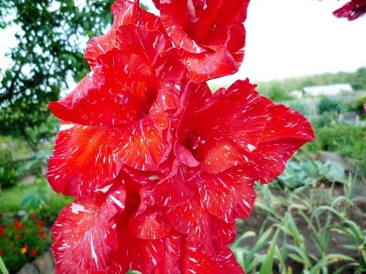 болезни и вредители гладиолусов - цветы на грядке