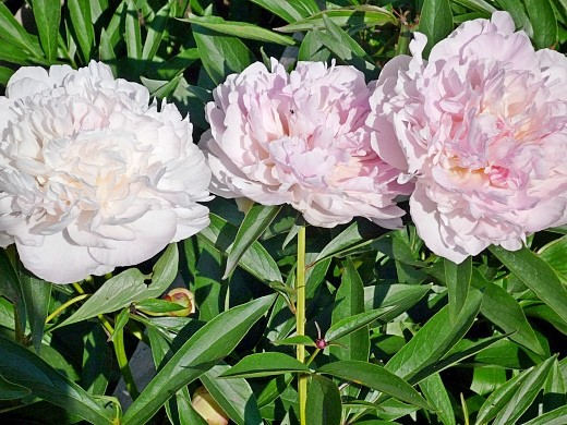 болезни и вредители пионов - пионы на цветочной грядке