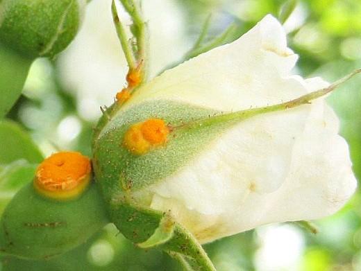 болезни роз ржавчина