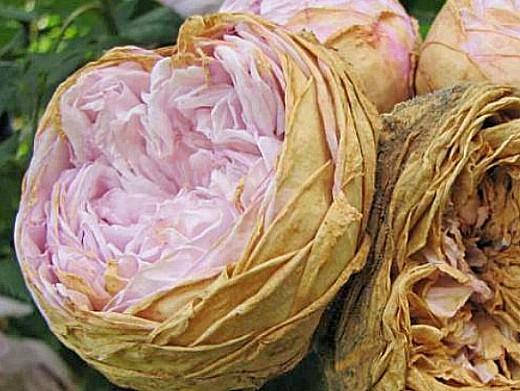 болезни роз серая плесень (ботритис)