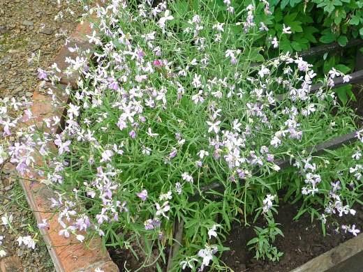 цветы матиола двурогая, посадка и уход