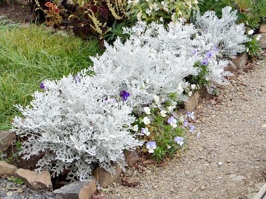 цинерария, посадка и уход - цветы на дачной клумбе