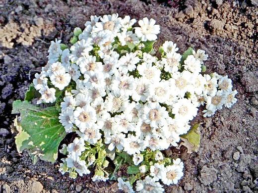 цветочная цинерария, посадка и уход - белая