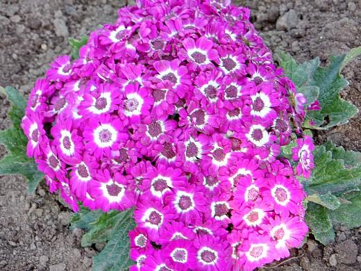 цветочная цинерария, посадка и уход на дачной клумбе