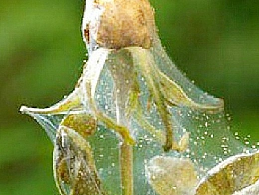 вредители роз паутинный клещик