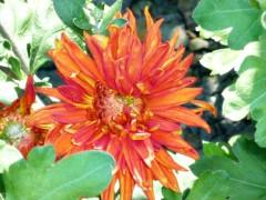 Причины белого налета на листьях хризантемы