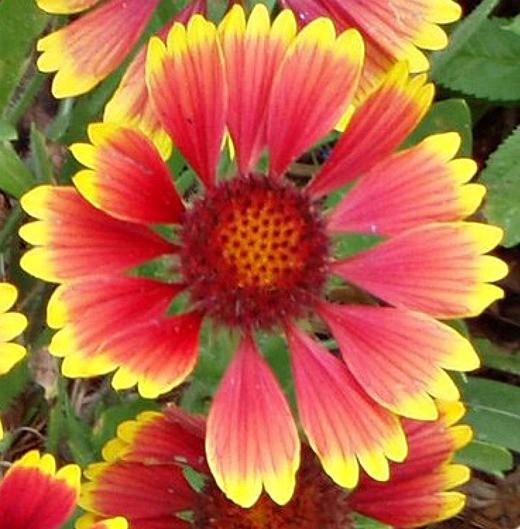 цветы гайлардия многолетняя, посадка и уход