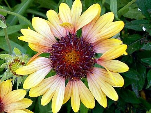 цветы гайлардия многолетняя, посадка и уход - на клумбе