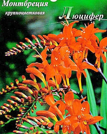 цветы монтбреция крупноцветковая, выращивание - семена сорт люцифер
