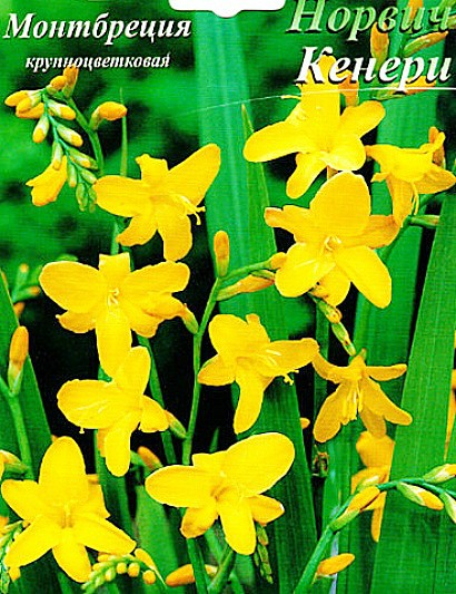 цветы монтбреция крупноцветковая, выращивание - семена сорт норвич кенери