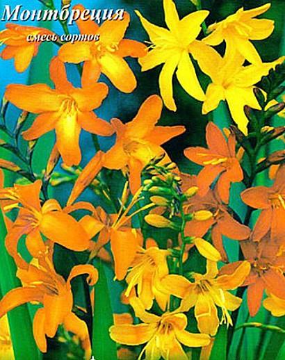 цветы монтбреция, выращивание - семена, смесь сортов