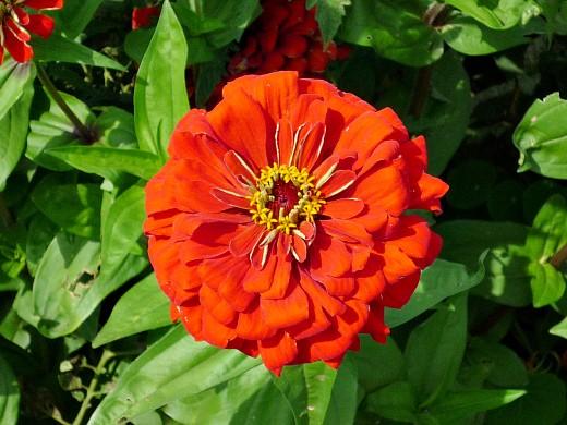 цветы цинния, посадка и уход - на даче