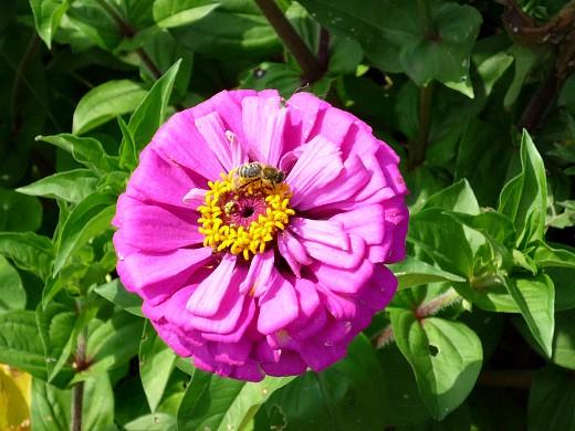 цветы цинния, посадка и уход - на клумбе
