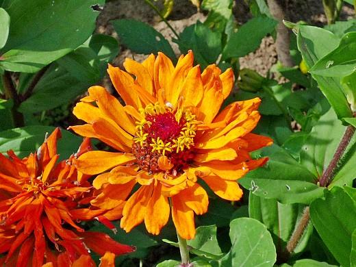 цинния, посадка и уход за цветами