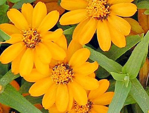 цветы цинния, посадка и уход