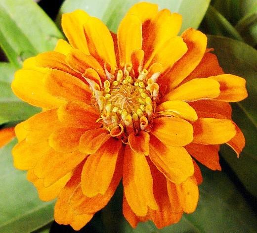 цветы цинния, посадка и уход - на дачной клумбе