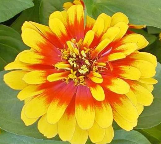 цветы цинния, посадка и уход - на дачном участке