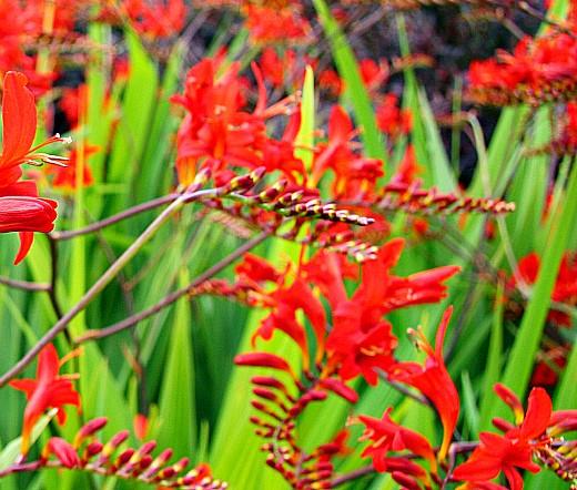цветы монтбреция, выращивание 3