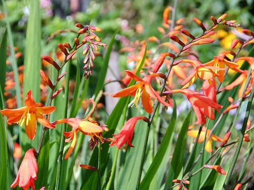 цветы монтбреция, выращивание 5