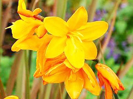 цветы монтбреция, выращивание 6