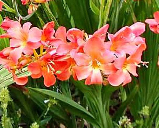 цветы монтбреция, выращивание 7