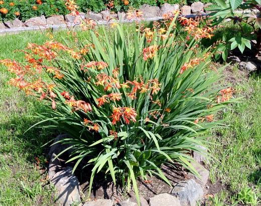 цветы монтбреция, выращивание - в рабатке на газоне