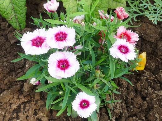 цветы гвоздика китайская многолетняя, посадка и уход