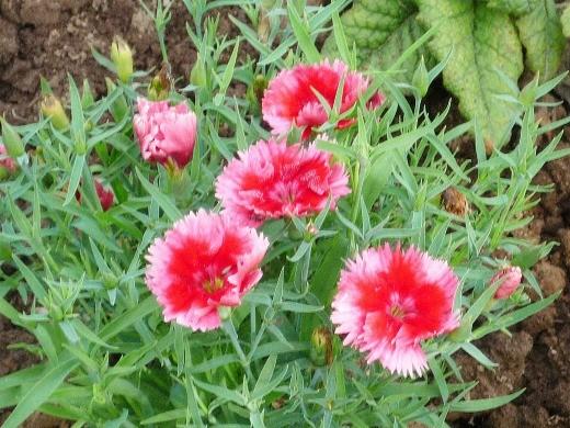 цветы гвоздика китайская многолетняя, посадка и уход - на клумбе