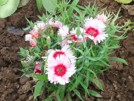 цветы гвоздика китайская многолетняя, посадка и уход - на дачной клумбе