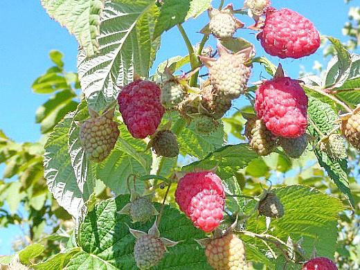 лучшие сорта малины ранние, средние, поздние и ремонтантные - атлант