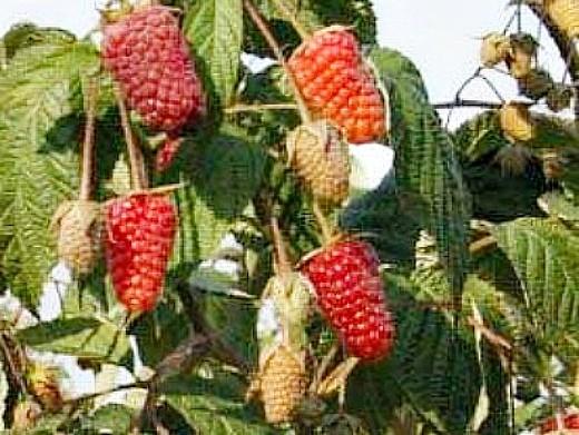 лучшие сорта малины ранние, средние, поздние и ремонтантные - брянское диво
