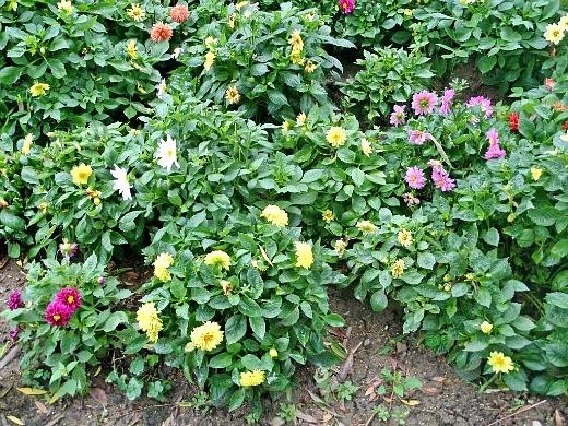 """низкорослые георгины, посадка и уход - на клумбе цветы сорта """"веселые ребята"""""""