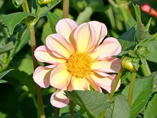 низкорослые цветы георгины, посадка и уход - сорт пикколо