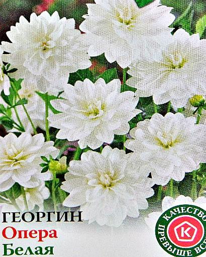 низкорослые георгины, посадка и уход - семена сорт опера, белая