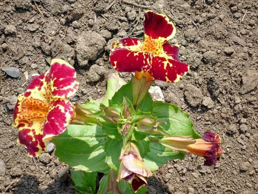 Цветы мимулюс, выращивание из семян