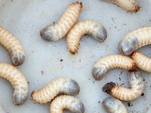 вредители ирисов майский жук - личинка