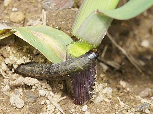 вредители ирисов озимая совка - гусеница