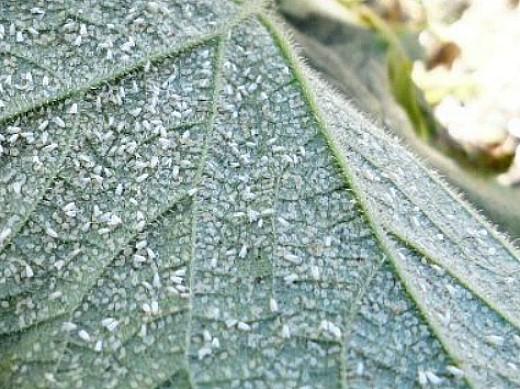 вредители огурцов белокрылка