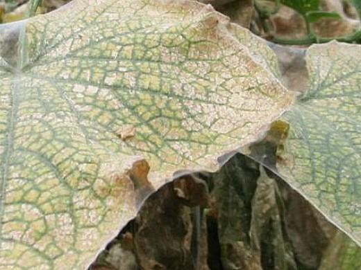 вредители огурцов паутинный клещ