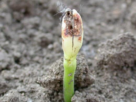 вредители огурцов ростковая муха