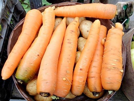 болезни и вредители моркови - летний урожай моркови на неделю