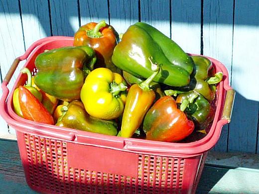 болезни и вредители сладкого перца - урожай перца разных сортов