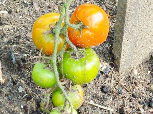 болезни и вредители томатов помидоров - помидорная кисть