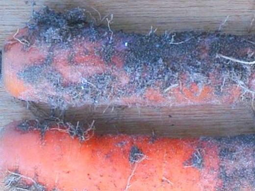 болезни моркови альтернариоз (черная гниль)
