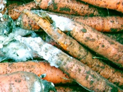 болезни моркови белая гниль
