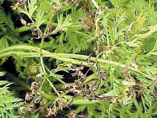 болезни моркови бурая пятнистость листьев