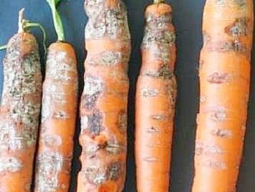 болезни моркови фомоз