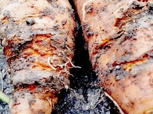 болезни моркови ризоктониоз